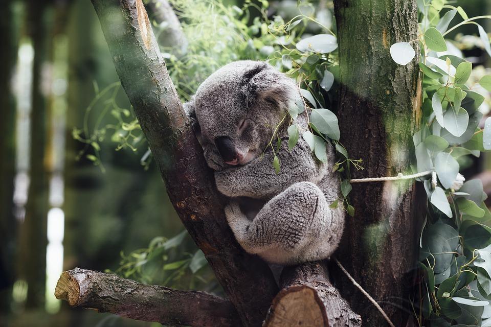 koala ¿Cómo vencer la pereza?